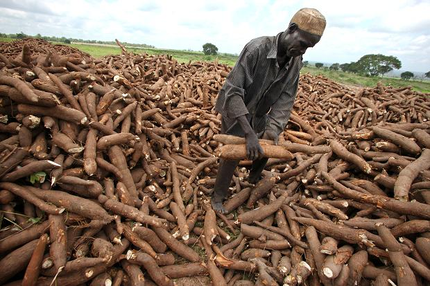 how to tell if cassava is bad